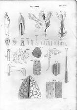 Stampa antica BOTANICA dettagli di anatomia delle foglie 1848 Old print