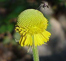 Helenium puberulum | Autumn Lollipop | Sneezeweed | 200_Seeds