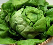 Dürr Salanova-Salat grün Descartes RZ  ca 20 Korn  Samen Sämereien Salat ca