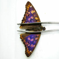 WHOLESALE 50 PCS collection unmounted butterfly nymphalidae apatura ilia #1A
