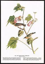 1930s Original Vintage Audubon Bay Breasted Warbler Bird Art Print