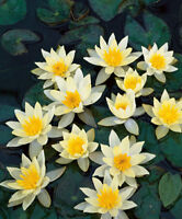 Pygmaea Helvola Dwarf  water lily - pond plants water lilies aquatic plants
