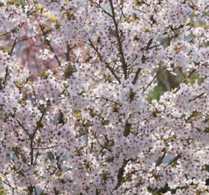 Prunus incisa 'Kojo-no-mai' (Fuji cherry 'Kojo-no-mai') in 7cm pot