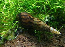 lot de 7 Escargots  Melanoides aquarium