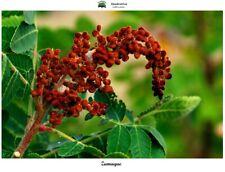 Rhus coriaria - Zumaque - 100 semillas - Saatgut - Graines - Semi