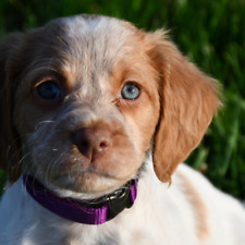 Furbabies-Puppy Id Whelping Collars (4-8 Week Old Size Only) Nylon Collars