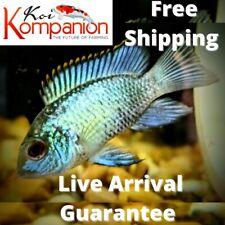 3/5/10X Electric Blue Acara Fish Freshwater Koi Kompanion Free Shipping