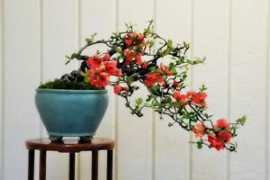 Chaenomeles sinensis (Chinese Quince Tree) 5 Seeds RARE Flowers Garden Bonsai UK