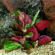 hemigraphis colorata plante  tres rouge aquarium terrarium  vivarium paludarium