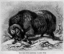 Moschusochse (Ovibos moschatus) SCHAFOCHSE Holzstich von 1891