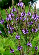 Verbena - Verbena officinalis - 300 semillas - seeds
