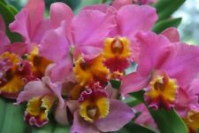 Slc. Jeweler's Art 'Carved Coral' Am/Aos Cattleya Orchid Plant