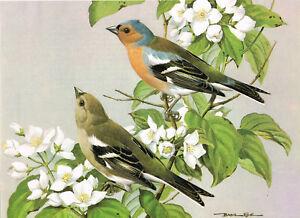 Chaffinch Vintage Bird Picture Old Print Basil Ede 1980 BEB#23