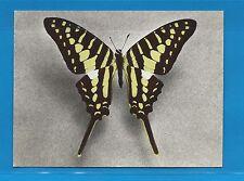 Carte Publicitaire Papillons Papilio antheus Afrique tropicale