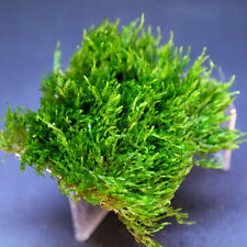"Flame Moss 3x3"" Mesh - Live Aquarium Plants Tropical Fish Tank Low Co2"