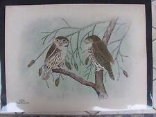Original   Rex Brasher #379a  Hand Colored Bird Print CA Pygmy Owl #379aREX2 DSS