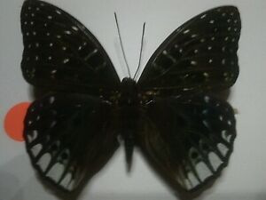Real Insect/Butterfly/Moth Set Spread B7250 Large Dichorragia ninus ninus