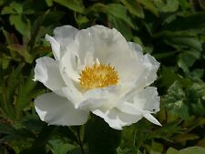 """1x Paeonia """" GESSEKAI """" WHITE Tree Peony Rose  RARE peonie 牡丹"""