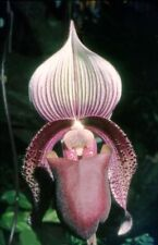 Orchid flask paph superbiens Paphiopedilum species outstanding