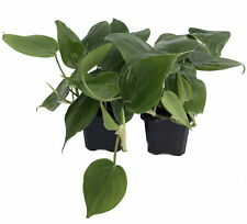 "Heart Leaf Philodendron - 2 Plants - Easiest House Plant to Grow - 3"" Pots"