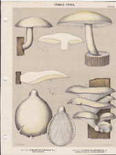MUSHROOM PRINT. Edible Fungi Of New York. Circa 1900 ~Pleurotus Ulmarius