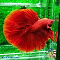 Live Betta Fish - High Quality Grade A++ HM Super Red Chili