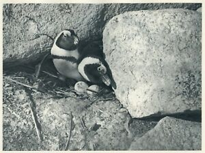 1930 photogravure DASSEN ISLAND PENGUINS NESTING African Sea Birds vintage print