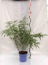 Bambus Fargesia Rufa 100 - 130 cm 5-10 Halme Bambus Hecke Pflanze Blumen