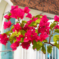 Mix-Color Bougainvillea Spectabilis Willd Garden Bonsai Flowers V 100 PCS Seeds