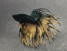 """RARE!! Premium Live Betta Fish : Male Crown Tail Emerald Mustard(BIT063) BO:1.5"""""""
