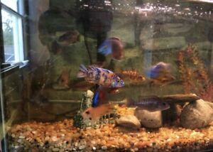 """*4*x African Cichlids 1.5 -3"""" Live Tropical Fish Assorted Peacock Cichlids"""