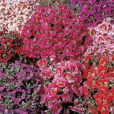500 Butterfly Flower Seeds Angel Wings Mix FLOWER SEEDS