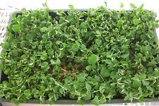 Salad - Pea Shoots - Serge - 400 Seeds