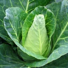 cabbage Sugarloaf 100 seeds heritage vegetable non gmo open pollinated sweet