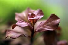 3 Stems Ludwigia Ovalis 'Pink'Live Aquatic Plants & Get Other Freebies!