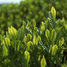 5PCS/Bag Seeds   Fresh Green Tea Tree Plant Seeds Home Garden Decor