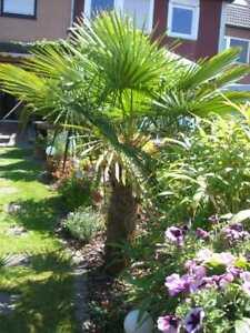 100 St. Hanf Palmen Samen Palme Winterhart bis -18 °C Trachycarpus