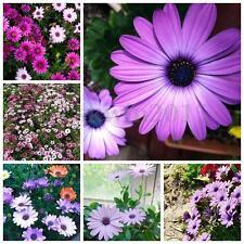 50 Seeds Blue Eyed Daisy Osteospermum Ecklonis Cape Mix Flower Garden Decor
