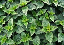 New listing Stinging Nettle (Urtica dioica) 1000 Fresh Seeds