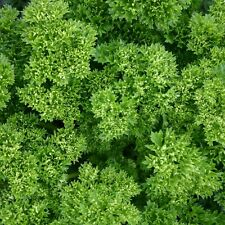 Herb Seeds - Parsley Moss Curled - 10,000 Seeds