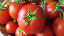 New listing Tomato - Mule Team - Old Heirloom - 25 Seeds Great for Preppers