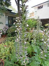 Acanthus Mollis  x  Large Rhizomes [Bare Rooted] 1.5 - 2kg AustHardy Plant!