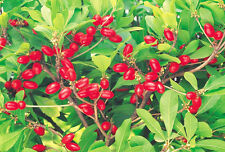 MIRACLE FRUIT Synsepalum dulcificum rare exotic sweet  berry edible seed 7 SEEDS