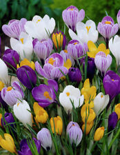 20 Crocus Mixed Color Flower Bulb Perennial Spring Blooming