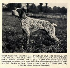 Panther von Wittekind Deutsch-Kurzhaar Jagdhunde & Züchter 1930-40