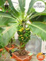 Banana Bonsai Bonsai Seeds Plants Fruit Vegetables Organic Rare 100pcs/bag