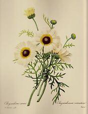 Vintage Botanical Flower Print White Daisy Print Redoute Art pjr #1998