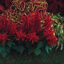 Salvia - Scarlet O'Hara - 25 Seeds