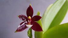 Orchid Species : Phalaenopsis cornu-cervi Red  Orchid Plant