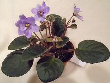 African violet Namely Nancy live plant in pot